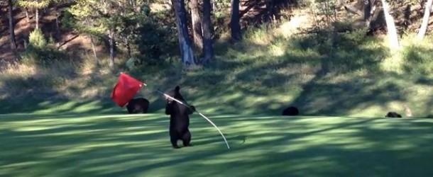 Baby Bear Circus Act on a Golf Course